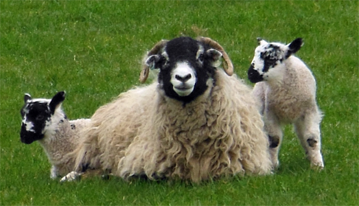 Swaledale Sheep with Alan Alderson